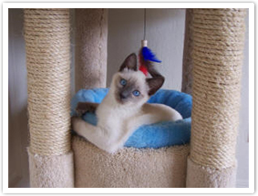 Siamse kitten playing in cat tree
